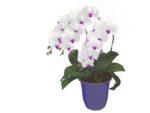 祝いごとや開店祝いにはなぜ胡蝶蘭を贈るの?