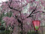 平成最後の【造幣局の桜の通り抜け】の狙い目の日と時間は?