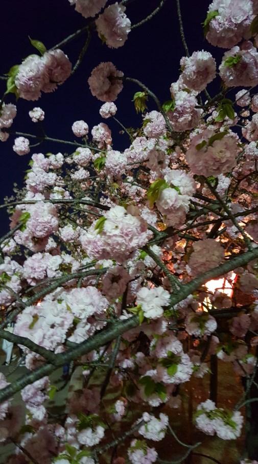 平成最後の造幣局「桜の通り抜け」の夜桜は平日夜何時まで?土日は?